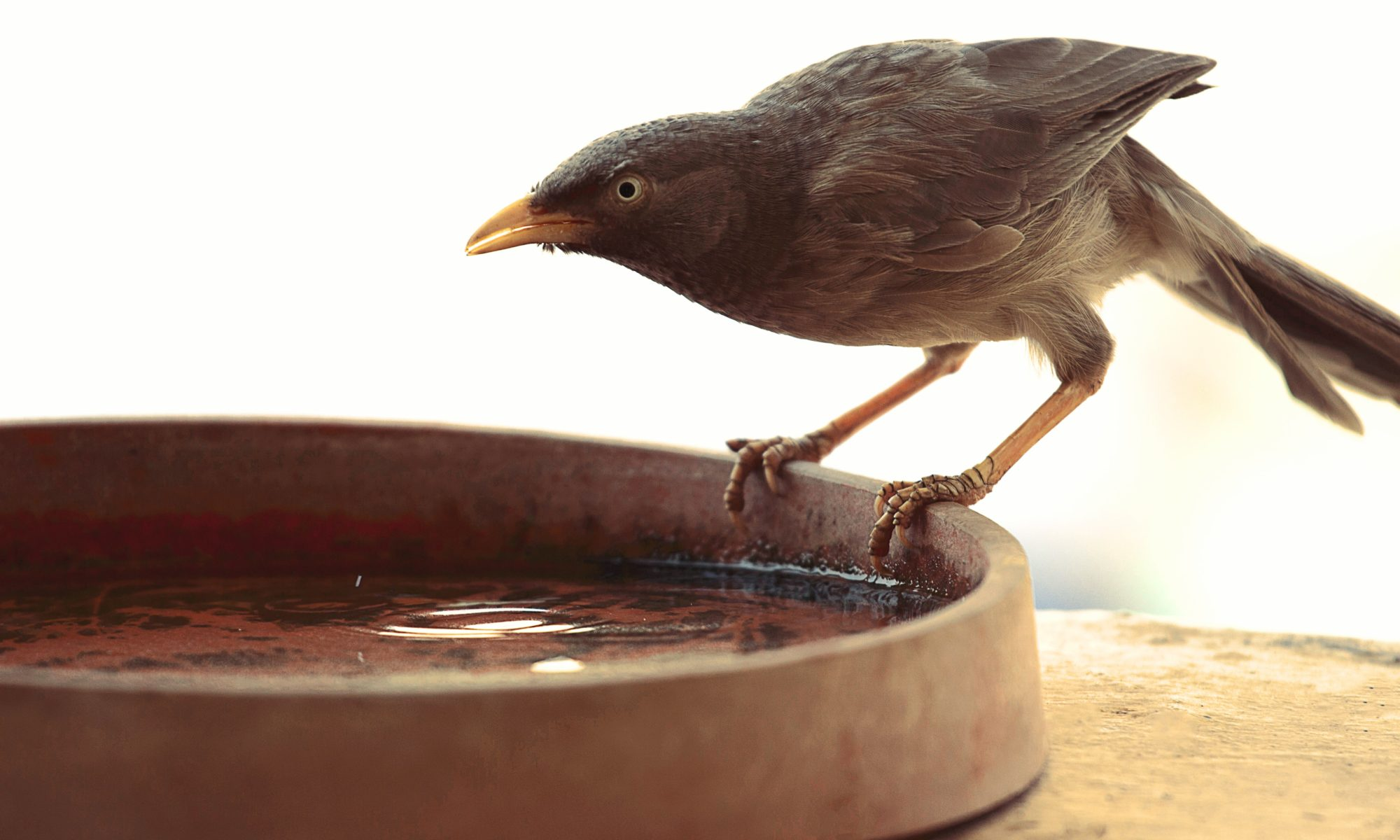 Salt and Light Ministries DevotionalThirsty-Bird-drinking-from-a-tray
